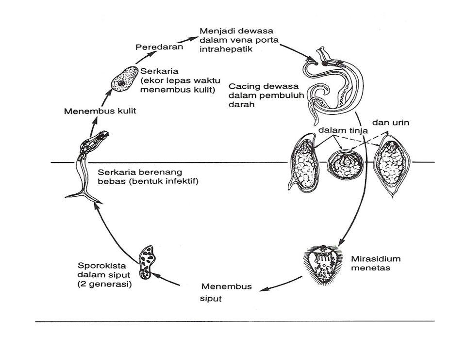 Schistosoma  Penyakit : skistosomiasis= bilharziasis  Morfologi dan Daur Hidup  Hidup in copula di dalam pembuluh darah vena-vena usus, vesikalis d