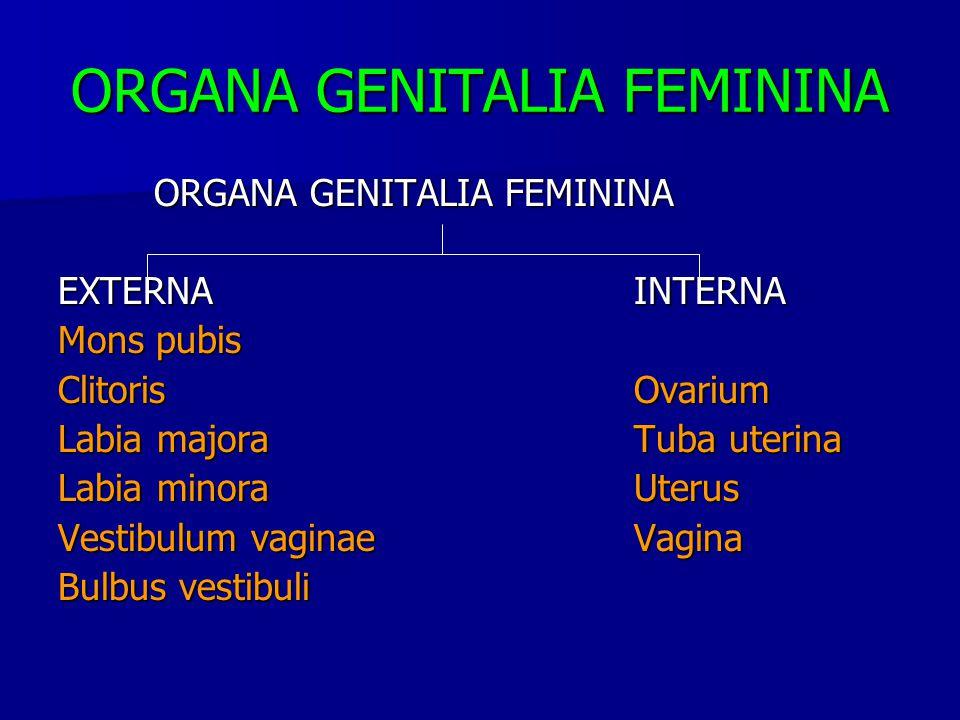 EXTERNAINTERNA Mons pubis ClitorisOvarium Labia majoraTuba uterina Labia minoraUterus Vestibulum vaginaeVagina Bulbus vestibuli