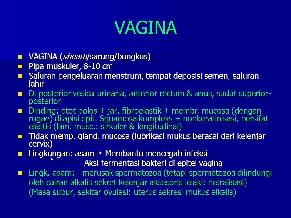 VAGINA VAGINA (sheath/sarung/bungkus) VAGINA (sheath/sarung/bungkus) Pipa muskuler, 8-10 cm Pipa muskuler, 8-10 cm Saluran pengeluaran menstrum, tempa