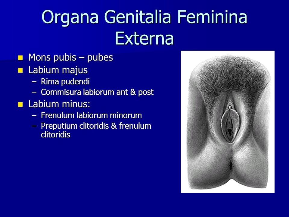 Organa Genitalia Feminina Externa Mons pubis – pubes Mons pubis – pubes Labium majus Labium majus –Rima pudendi –Commisura labiorum ant & post Labium