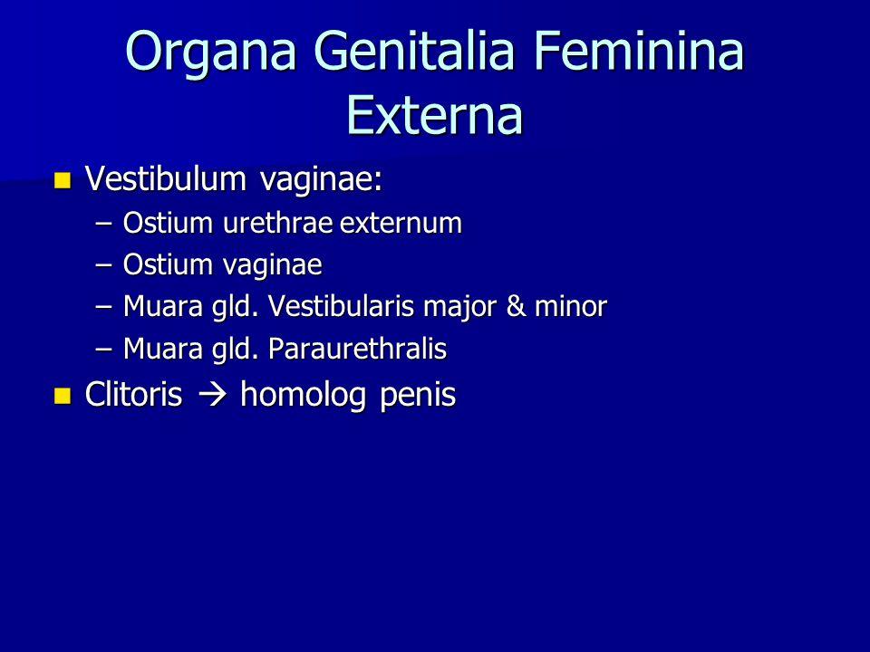 Organa Genitalia Feminina Externa Vestibulum vaginae: Vestibulum vaginae: –Ostium urethrae externum –Ostium vaginae –Muara gld. Vestibularis major & m