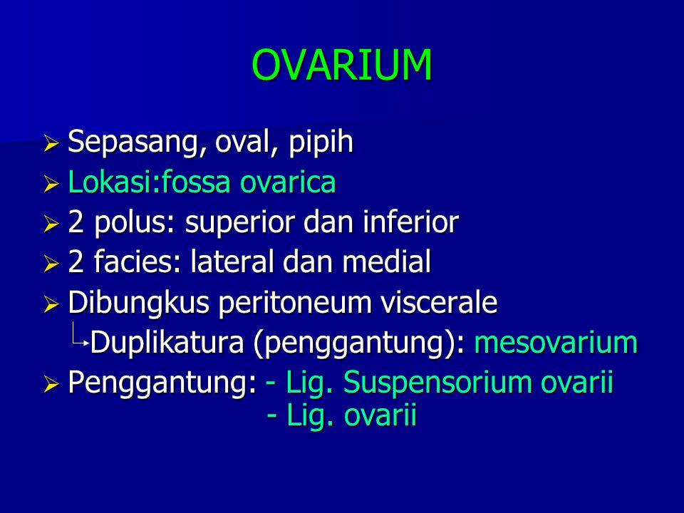 OVARIUM  Sepasang, oval, pipih  Lokasi:fossa ovarica  2 polus: superior dan inferior  2 facies: lateral dan medial  Dibungkus peritoneum visceral