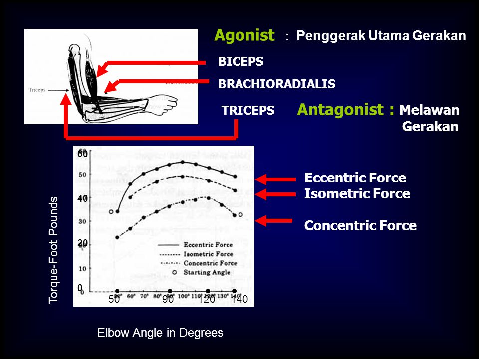 Agonist : Penggerak Utama Gerakan BICEPS BRACHIORADIALIS TRICEPS Antagonist : Melawan Gerakan Torque-Foot Pounds Eccentric Force Isometric Force Concentric Force Elbow Angle in Degrees 50 90 120 140 60 40 20 0