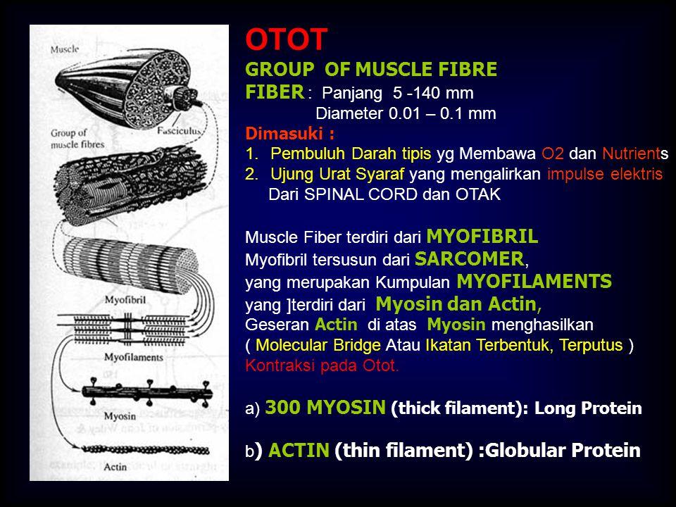 OTOT GROUP OF MUSCLE FIBRE FIBER : Panjang 5 -140 mm Diameter 0.01 – 0.1 mm Dimasuki : 1.Pembuluh Darah tipis yg Membawa O2 dan Nutrients 2.Ujung Urat