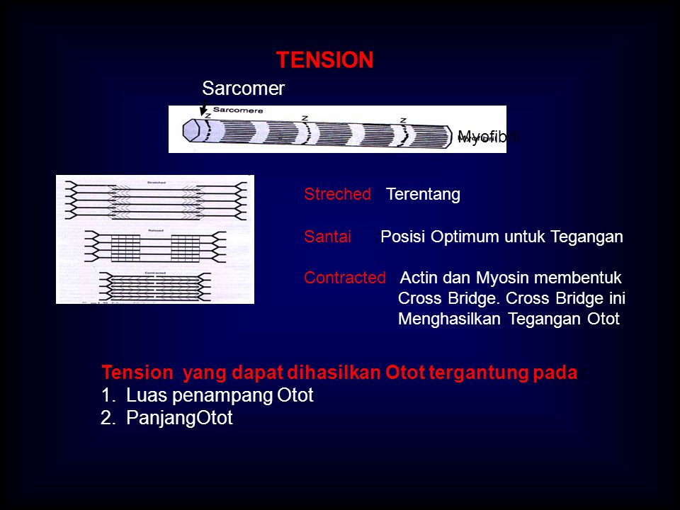 Sarcomer Myofibril Streched : Terentang Santai :Posisi Optimum untuk Tegangan Contracted : Actin dan Myosin membentuk Cross Bridge. Cross Bridge ini M