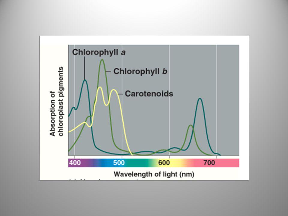 Spektrum aksi pigmen – Efektivitas relatif panjang gelombang yang berbeda dalam menjalankan fotosintesis Rate of photosynthesis (measured by O 2 release) Action spectrum.