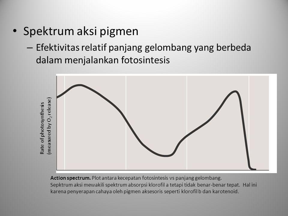 Spektrum aksi pigmen – Efektivitas relatif panjang gelombang yang berbeda dalam menjalankan fotosintesis Rate of photosynthesis (measured by O 2 relea