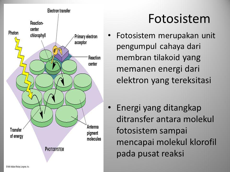 Fotosistem Fotosistem merupakan unit pengumpul cahaya dari membran tilakoid yang memanen energi dari elektron yang tereksitasi Energi yang ditangkap d