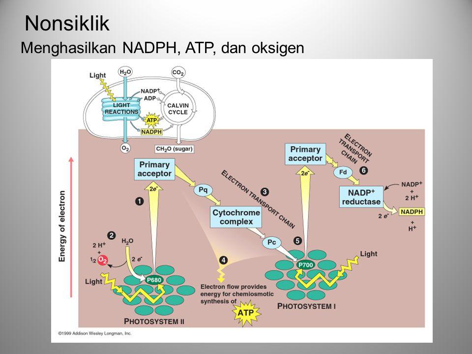 Menghasilkan NADPH, ATP, dan oksigen Nonsiklik