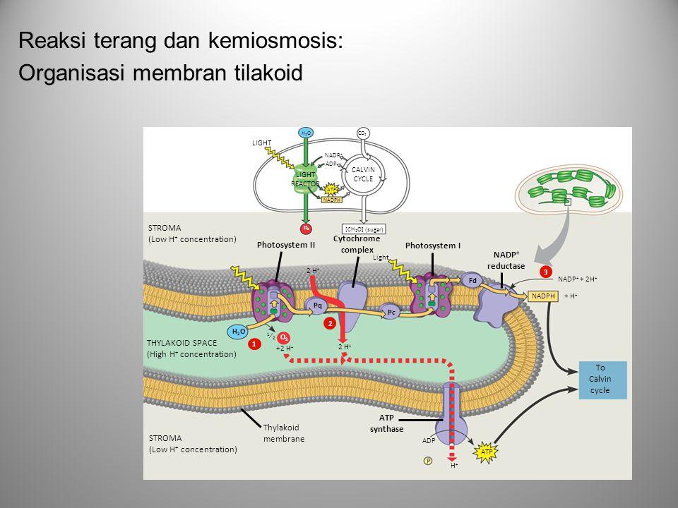 Reaksi terang dan kemiosmosis: Organisasi membran tilakoid LIGHT REACTOR NADP + ADP ATP NADPH CALVIN CYCLE [CH 2 O] (sugar) STROMA (Low H + concentrat