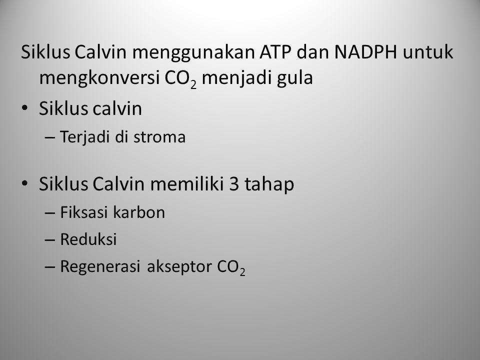 Siklus Calvin menggunakan ATP dan NADPH untuk mengkonversi CO 2 menjadi gula Siklus calvin – Terjadi di stroma Siklus Calvin memiliki 3 tahap – Fiksas