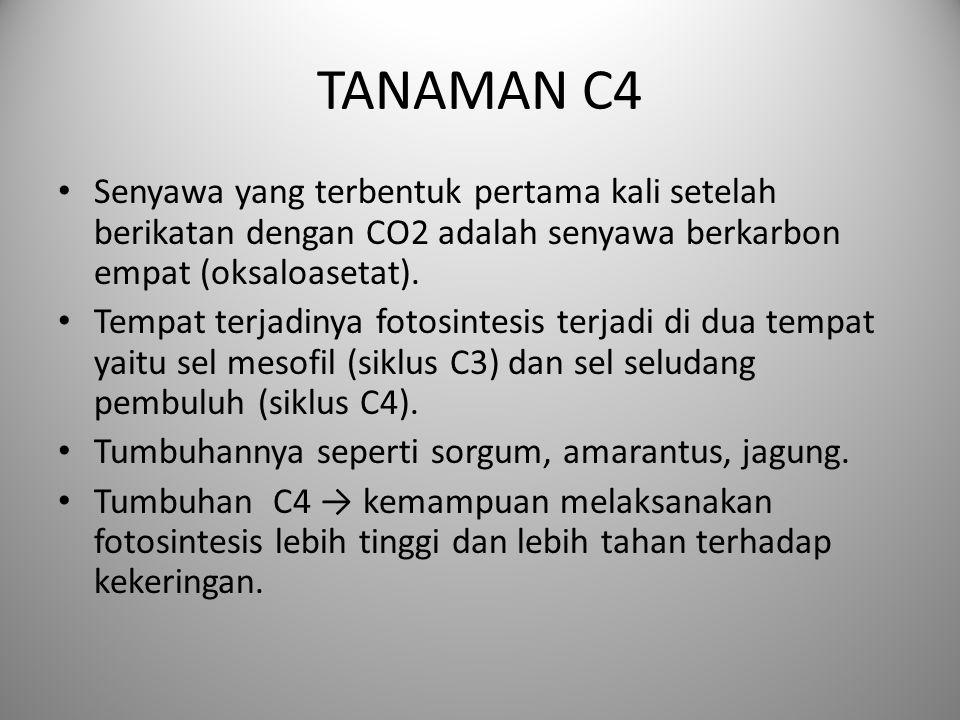 TANAMAN C4 Senyawa yang terbentuk pertama kali setelah berikatan dengan CO2 adalah senyawa berkarbon empat (oksaloasetat). Tempat terjadinya fotosinte