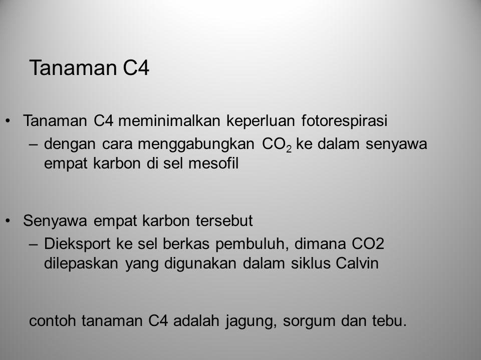 Tanaman C4 meminimalkan keperluan fotorespirasi –dengan cara menggabungkan CO 2 ke dalam senyawa empat karbon di sel mesofil Senyawa empat karbon ters