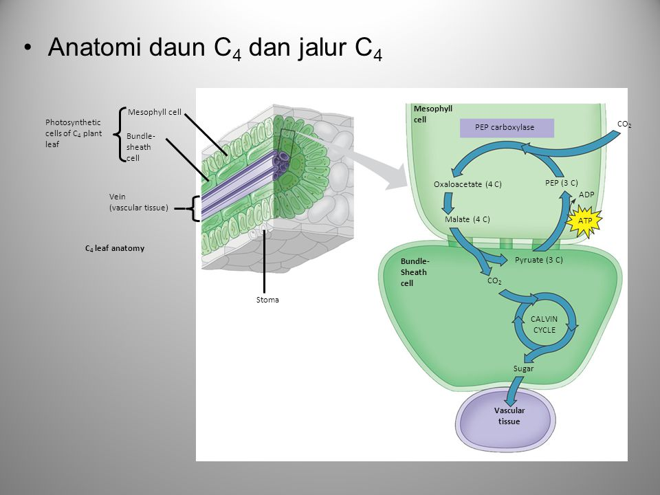 Anatomi daun C 4 dan jalur C 4 CO 2 Mesophyll cell Bundle- sheath cell Vein (vascular tissue) Photosynthetic cells of C 4 plant leaf Stoma Mesophyll cell C 4 leaf anatomy PEP carboxylase Oxaloacetate (4 C) PEP (3 C) Malate (4 C) ADP ATP Bundle- Sheath cell CO 2 Pyruate (3 C) CALVIN CYCLE Sugar Vascular tissue CO 2