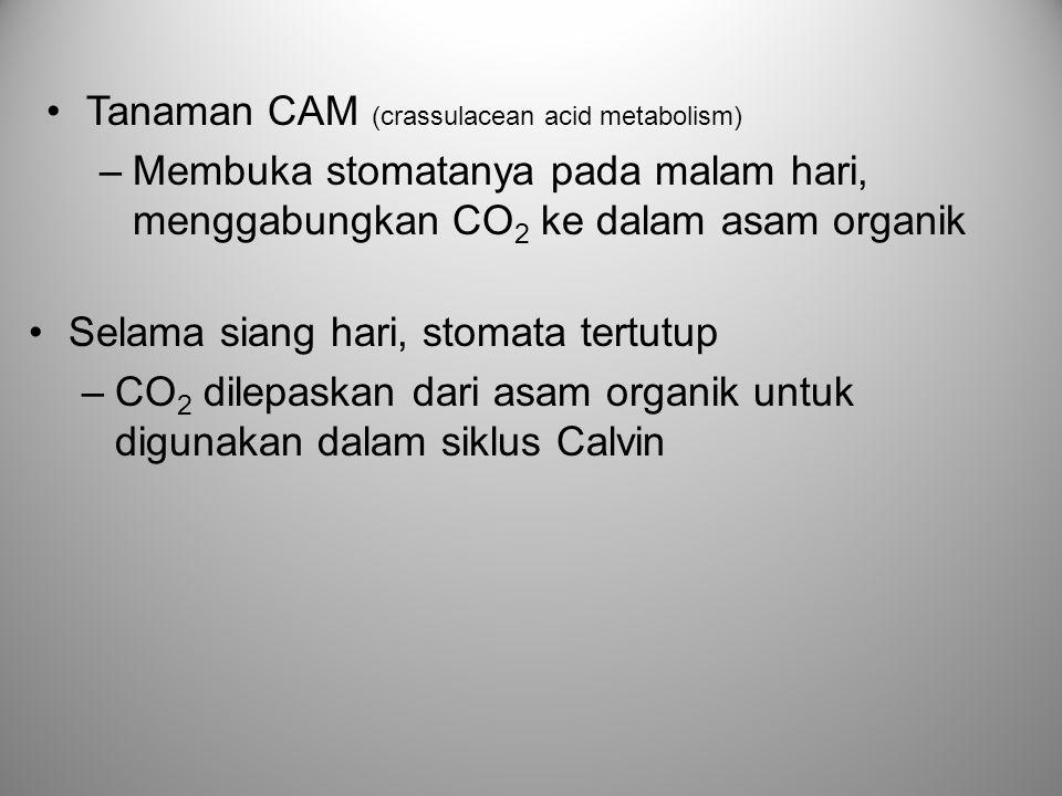 Tanaman CAM (crassulacean acid metabolism) –Membuka stomatanya pada malam hari, menggabungkan CO 2 ke dalam asam organik Selama siang hari, stomata te