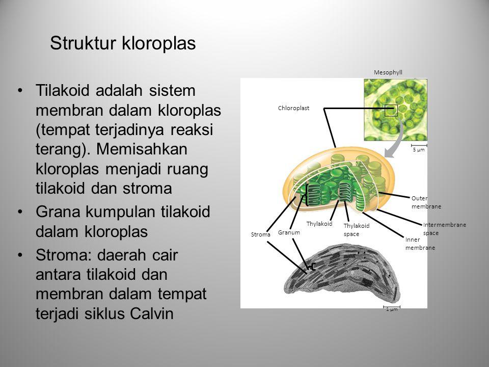 Tilakoid adalah sistem membran dalam kloroplas (tempat terjadinya reaksi terang). Memisahkan kloroplas menjadi ruang tilakoid dan stroma Grana kumpula