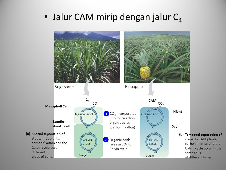 Jalur CAM mirip dengan jalur C 4 Spatial separation of steps. In C 4 plants, carbon fixation and the Calvin cycle occur in different types of cells. (