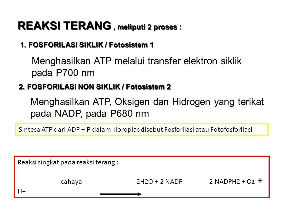 TAHAP FOTOSINTESIS 1.REAKSI TERANG / FOTOLISIS 2.
