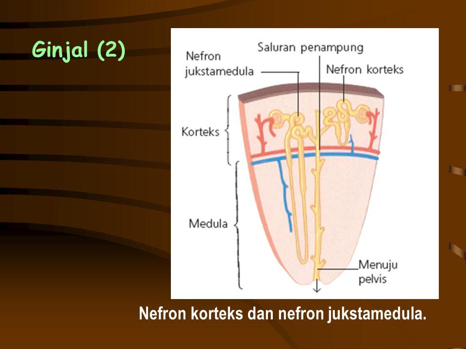 Ginjal (2) Nefron korteks dan nefron jukstamedula.