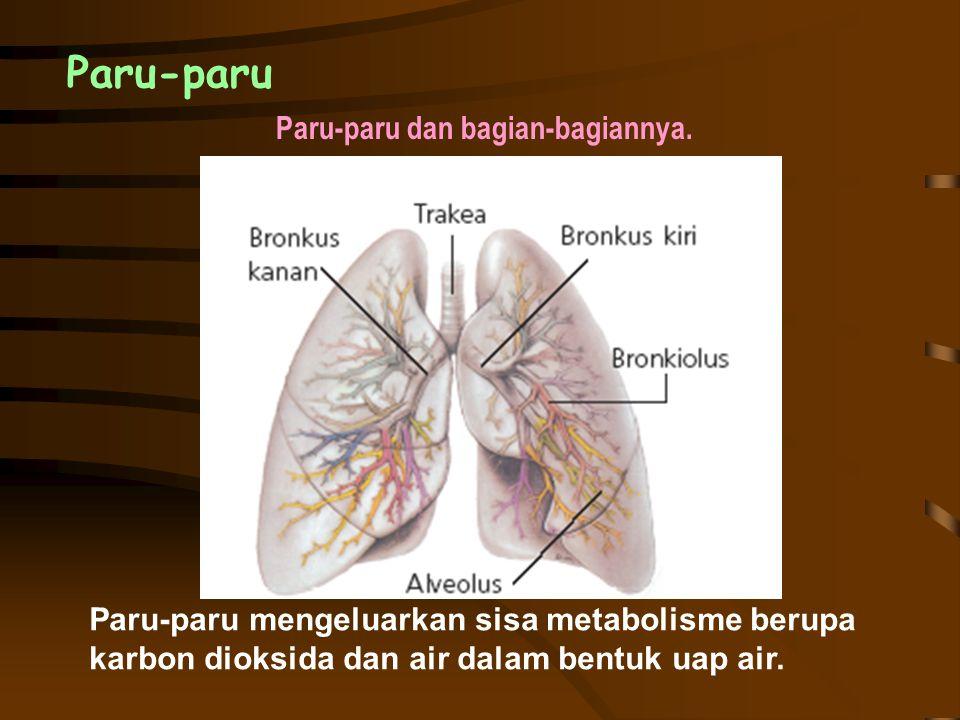 Paru-paru Paru-paru dan bagian-bagiannya. Paru-paru mengeluarkan sisa metabolisme berupa karbon dioksida dan air dalam bentuk uap air.