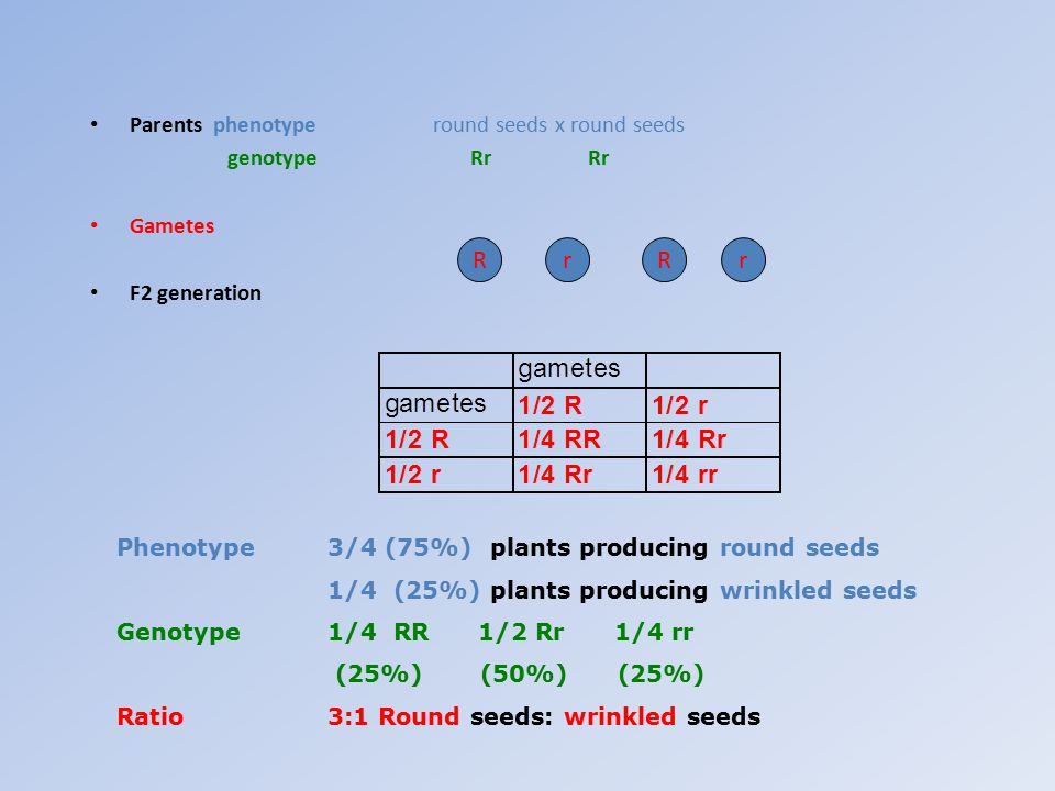 Parents phenotype round seeds x round seeds genotype Rr Rr Gametes F2 generation RrrR Phenotype3/4 (75%) plants producing round seeds 1/4 (25%) plants