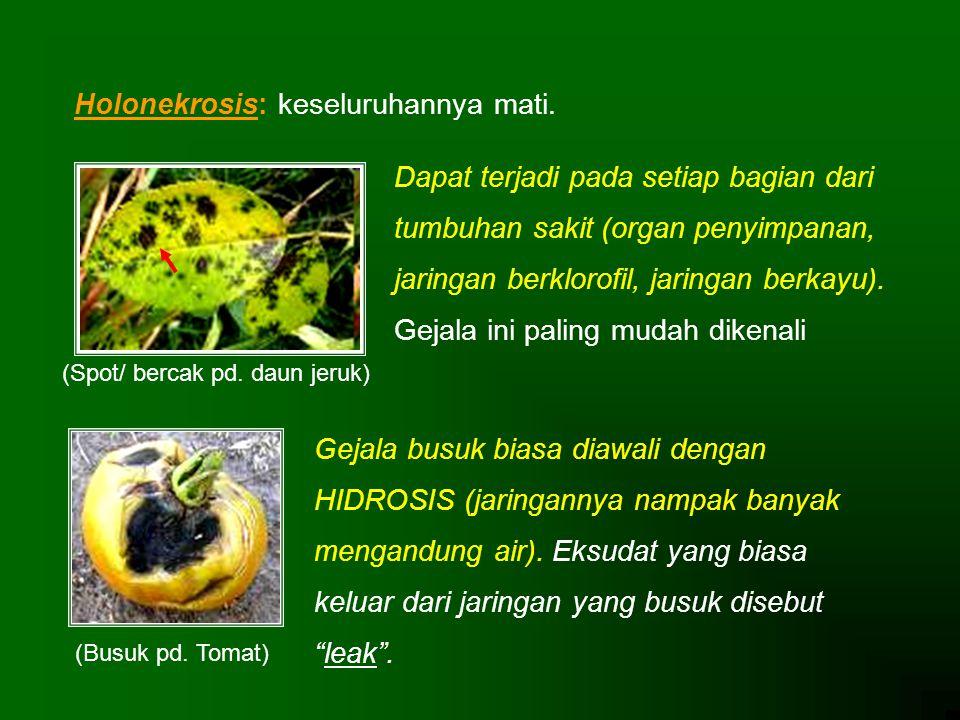Holonekrosis: keseluruhannya mati. Dapat terjadi pada setiap bagian dari tumbuhan sakit (organ penyimpanan, jaringan berklorofil, jaringan berkayu). G