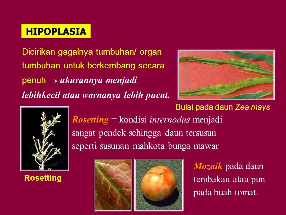 HIPOPLASIA Dicirikan gagalnya tumbuhan/ organ tumbuhan untuk berkembang secara penuh  ukurannya menjadi lebihkecil atau warnanya lebih pucat. Bulai p