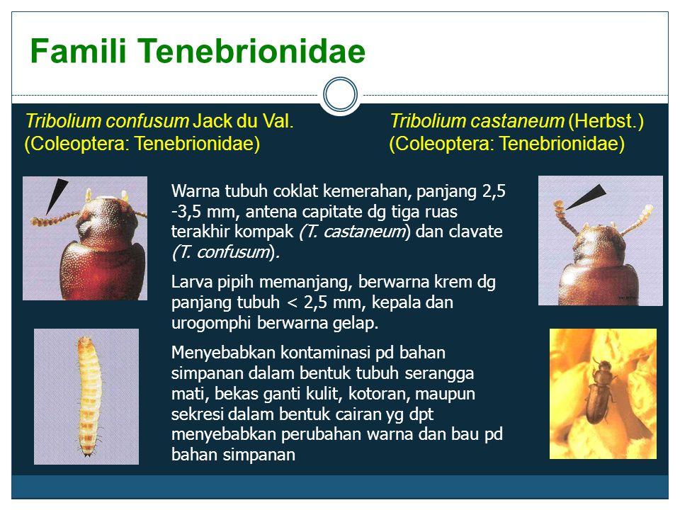Famili Tenebrionidae Tribolium confusum Jack du Val. (Coleoptera: Tenebrionidae) Warna tubuh coklat kemerahan, panjang 2,5 -3,5 mm, antena capitate dg