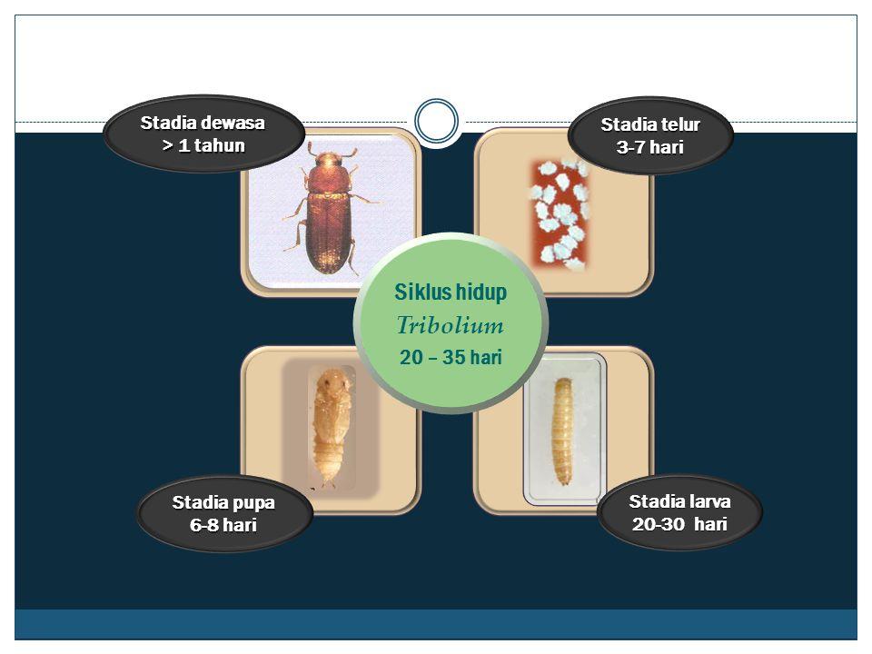 Stadia dewasa > 1 tahun Stadia larva 20-30 hari Stadia pupa 6-8 hari Stadia telur 3-7 hari Siklus hidup Tribolium 20 – 35 hari