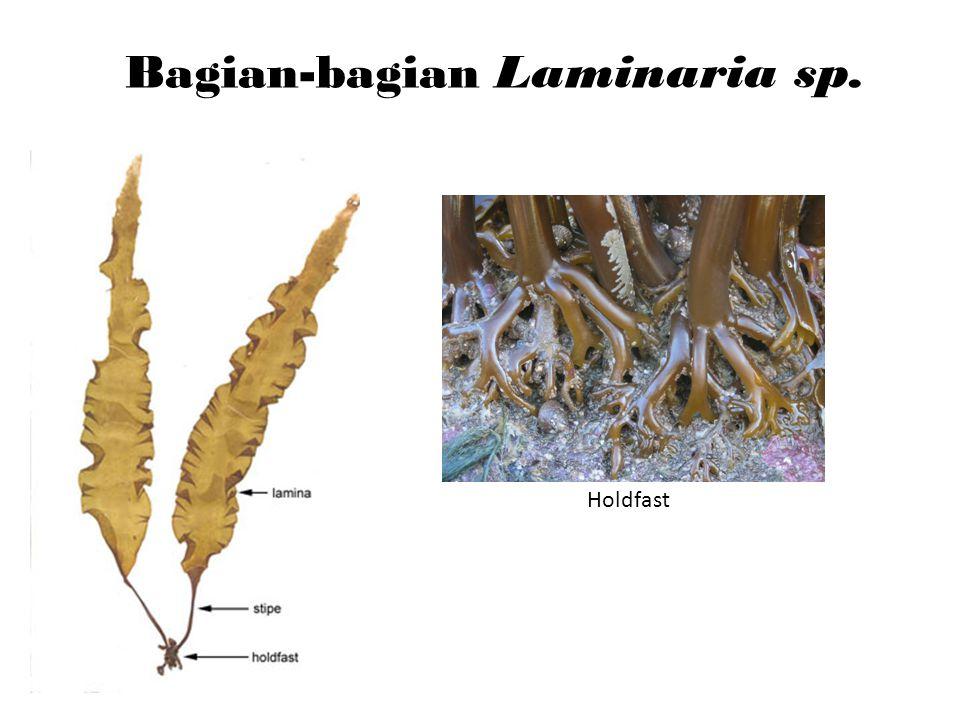 Bagian-bagian Laminaria sp. Holdfast