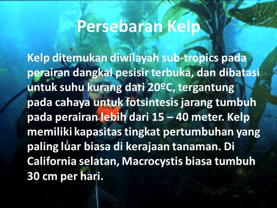 Persebaran Kelp Kelp ditemukan diwilayah sub-tropics pada perairan dangkal pesisir terbuka, dan dibatasi untuk suhu kurang dari 20ºC, tergantung pada