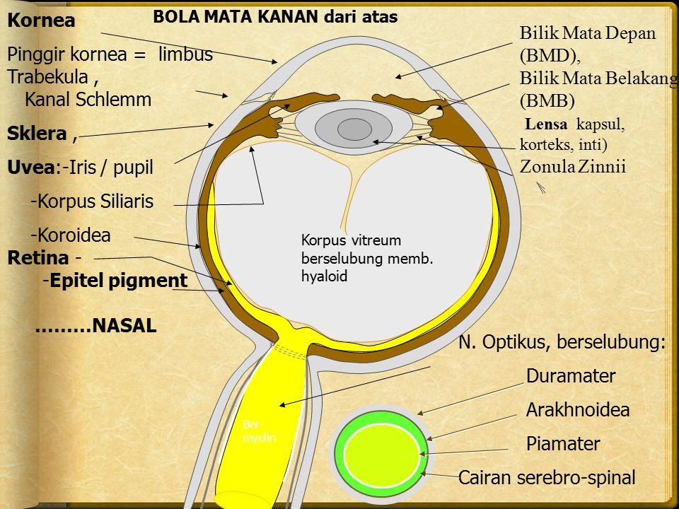 Kornea Pinggir kornea = limbus Trabekula, Kanal Schlemm Sklera, Uvea:-Iris / pupil -Korpus Siliaris -Koroidea Retina- -Epitel pigment ………NASAL N. Opti