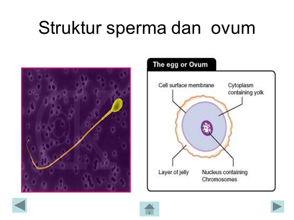 Struktur sperma dan ovum