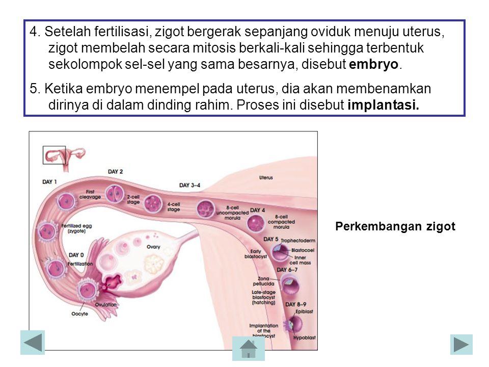 4. Setelah fertilisasi, zigot bergerak sepanjang oviduk menuju uterus, zigot membelah secara mitosis berkali-kali sehingga terbentuk sekolompok sel-se