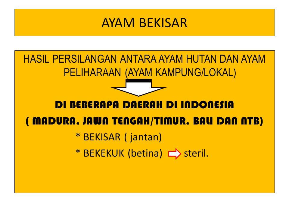 AYAM BEKISAR HASIL PERSILANGAN ANTARA AYAM HUTAN DAN AYAM PELIHARAAN (AYAM KAMPUNG/LOKAL) DI BEBERAPA DAERAH DI INDONESIA ( MADURA, JAWA TENGAH/TIMUR,