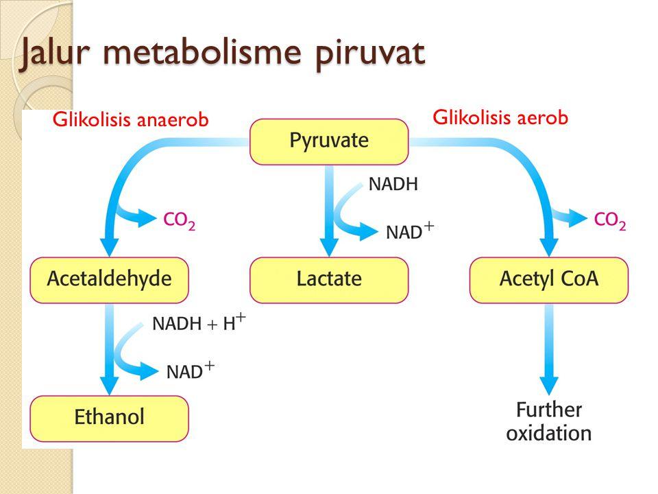 Jalur metabolisme piruvat Glikolisis anaerob Glikolisis aerob