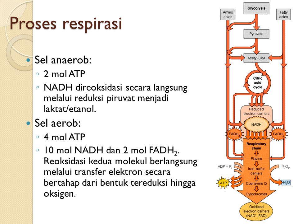 Proses respirasi Sel anaerob: ◦ 2 mol ATP ◦ NADH direoksidasi secara langsung melalui reduksi piruvat menjadi laktat/etanol. Sel aerob: ◦ 4 mol ATP ◦