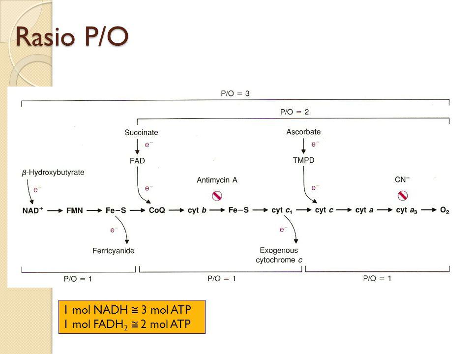 Rasio P/O 1 mol NADH  3 mol ATP 1 mol FADH 2  2 mol ATP