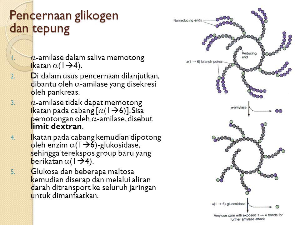 Pencernaan glikogen dan tepung 1.  -amilase dalam saliva memotong ikatan  (1  4). 2. Di dalam usus pencernaan dilanjutkan, dibantu oleh  -amilase