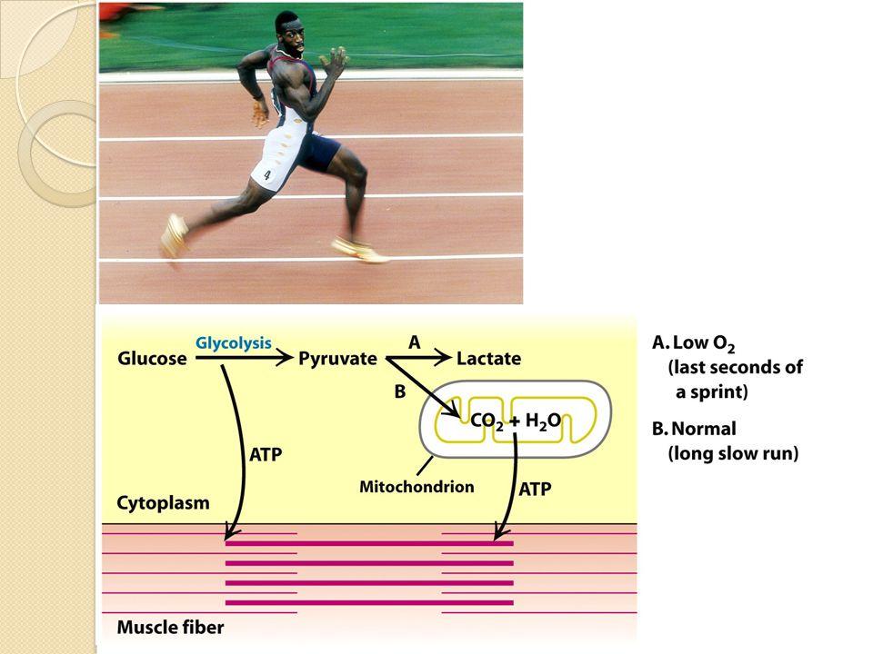 Fasa dalam jalur glikolisis 10 Reaksi antara glukosa dan piruvat dapat dianggap terdiri dari dua fasa yang berbeda: 1.