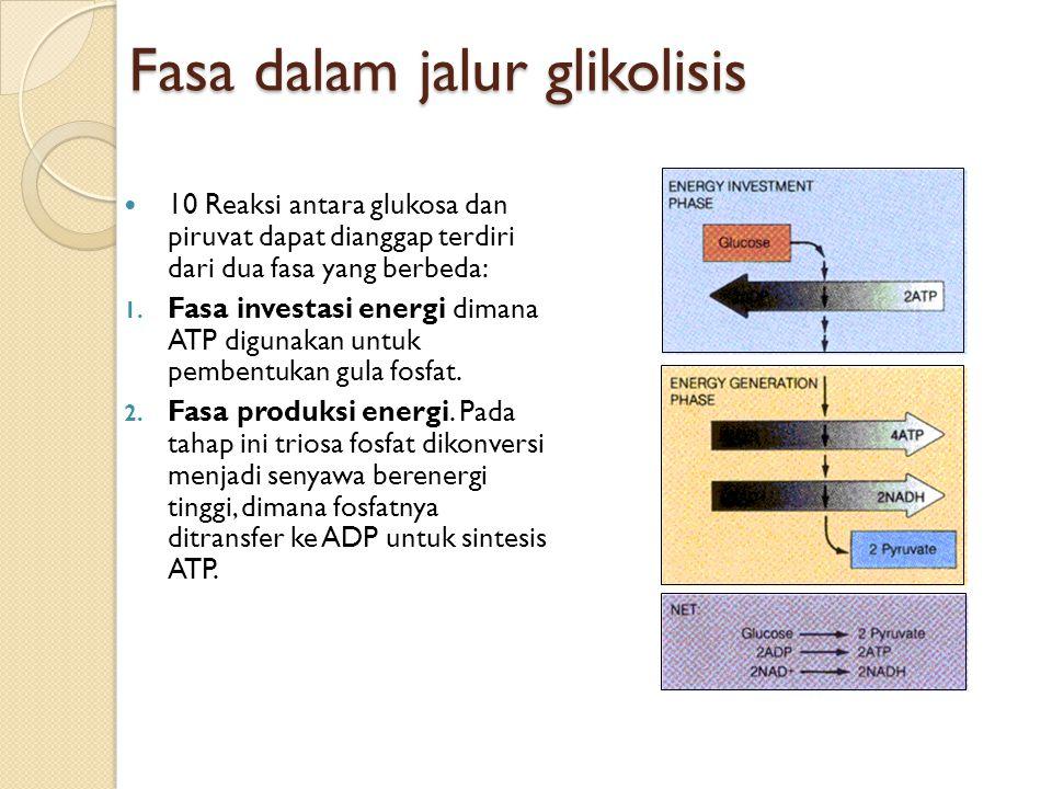 Stoikiometri glikolisis anaerob dan aerob Glikolisis anaerob: C 6 H 12 O 6 + 2 ADP + 2 Pi  2 laktat + 2 H + + 2 H 2 O + 2 ATP Glikolisis aerob: C 6 H 12 O 6 + 38 ADP + 38 Pi + 6 O 2  6 CO 2 + 44 H 2 O + 38 ATP
