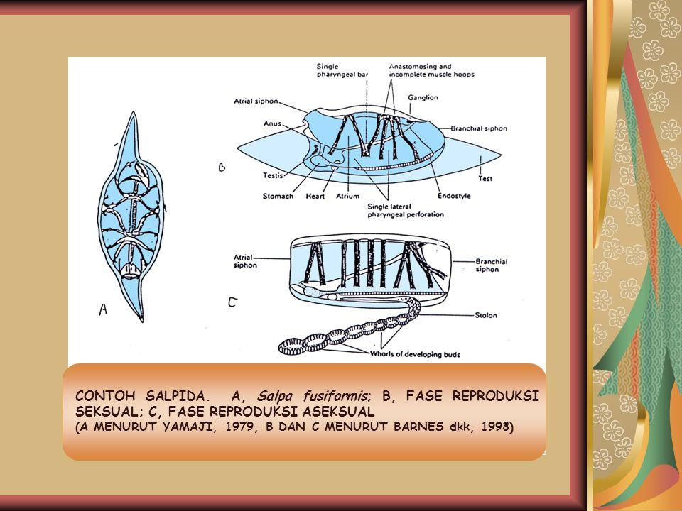 CONTOH SALPIDA. A, Salpa fusiformis; B, FASE REPRODUKSI SEKSUAL; C, FASE REPRODUKSI ASEKSUAL (A MENURUT YAMAJI, 1979, B DAN C MENURUT BARNES dkk, 1993
