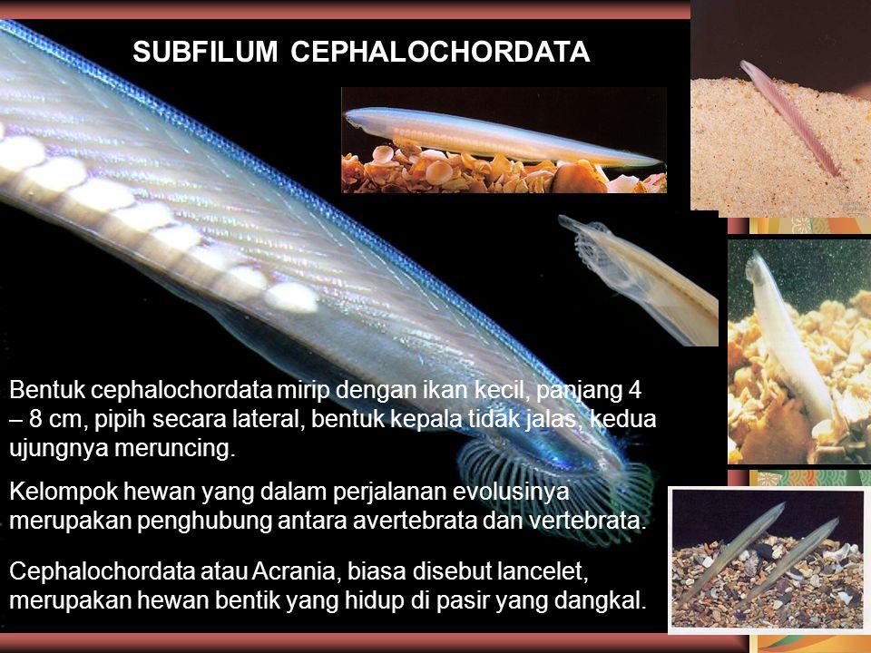 SUBFILUM CEPHALOCHORDATA Bentuk cephalochordata mirip dengan ikan kecil, panjang 4 – 8 cm, pipih secara lateral, bentuk kepala tidak jalas, kedua ujun