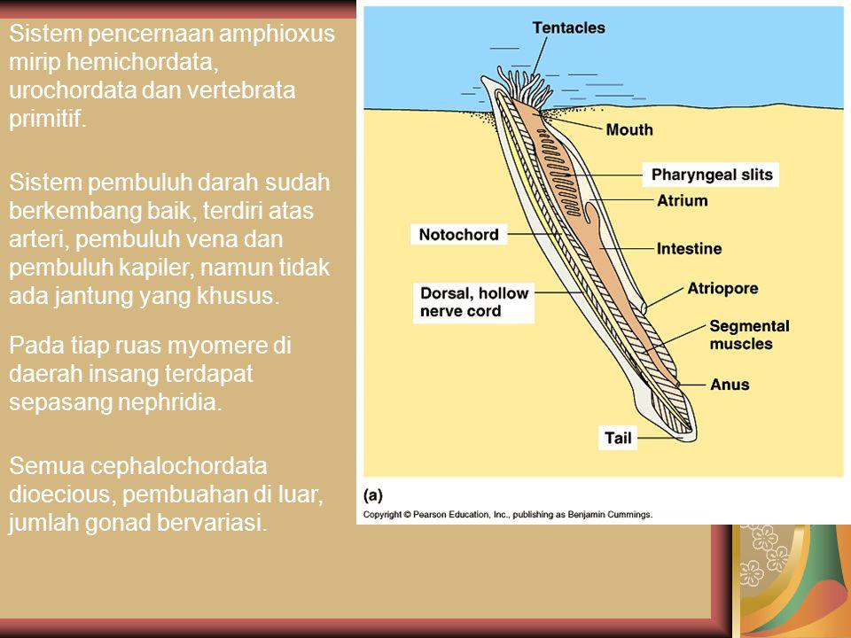 Sistem pencernaan amphioxus mirip hemichordata, urochordata dan vertebrata primitif. Sistem pembuluh darah sudah berkembang baik, terdiri atas arteri,