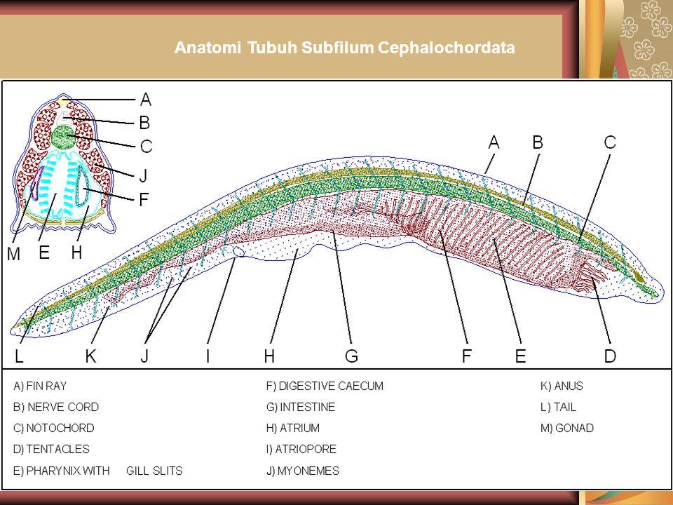 Anatomi Tubuh Subfilum Cephalochordata