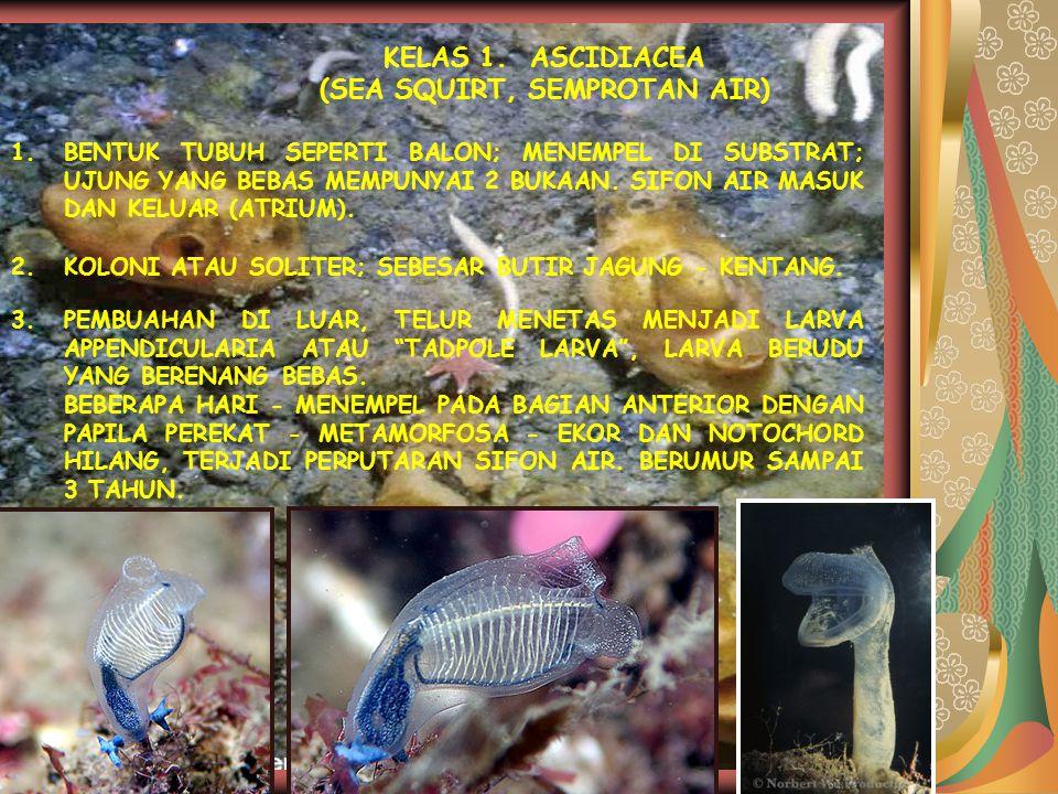 KELAS 1. ASCIDIACEA (SEA SQUIRT, SEMPROTAN AIR) 1.BENTUK TUBUH SEPERTI BALON; MENEMPEL DI SUBSTRAT; UJUNG YANG BEBAS MEMPUNYAI 2 BUKAAN. SIFON AIR MAS