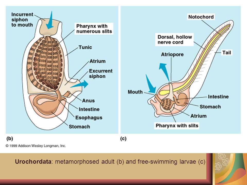 Urochordata: metamorphosed adult (b) and free-swimming larvae (c)