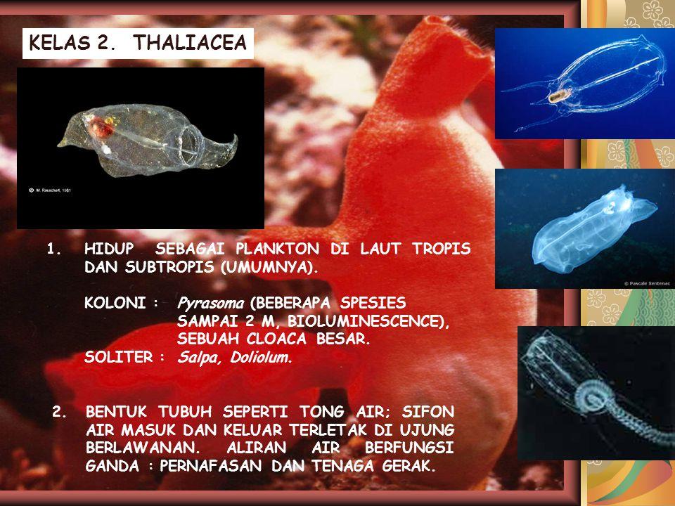 KELAS 2. THALIACEA 1.HIDUP SEBAGAI PLANKTON DI LAUT TROPIS DAN SUBTROPIS (UMUMNYA). KOLONI :Pyrasoma (BEBERAPA SPESIES SAMPAI 2 M, BIOLUMINESCENCE), S