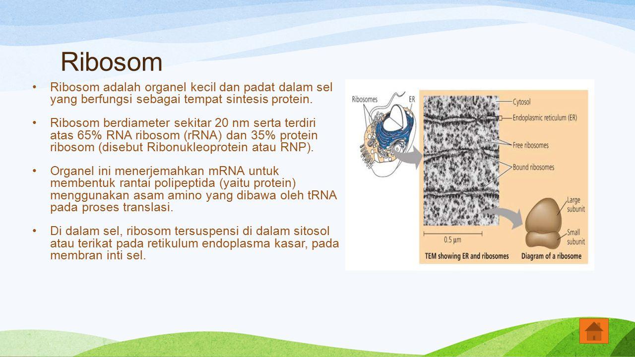 Ribosom Ribosom adalah organel kecil dan padat dalam sel yang berfungsi sebagai tempat sintesis protein. Ribosom berdiameter sekitar 20 nm serta terdi