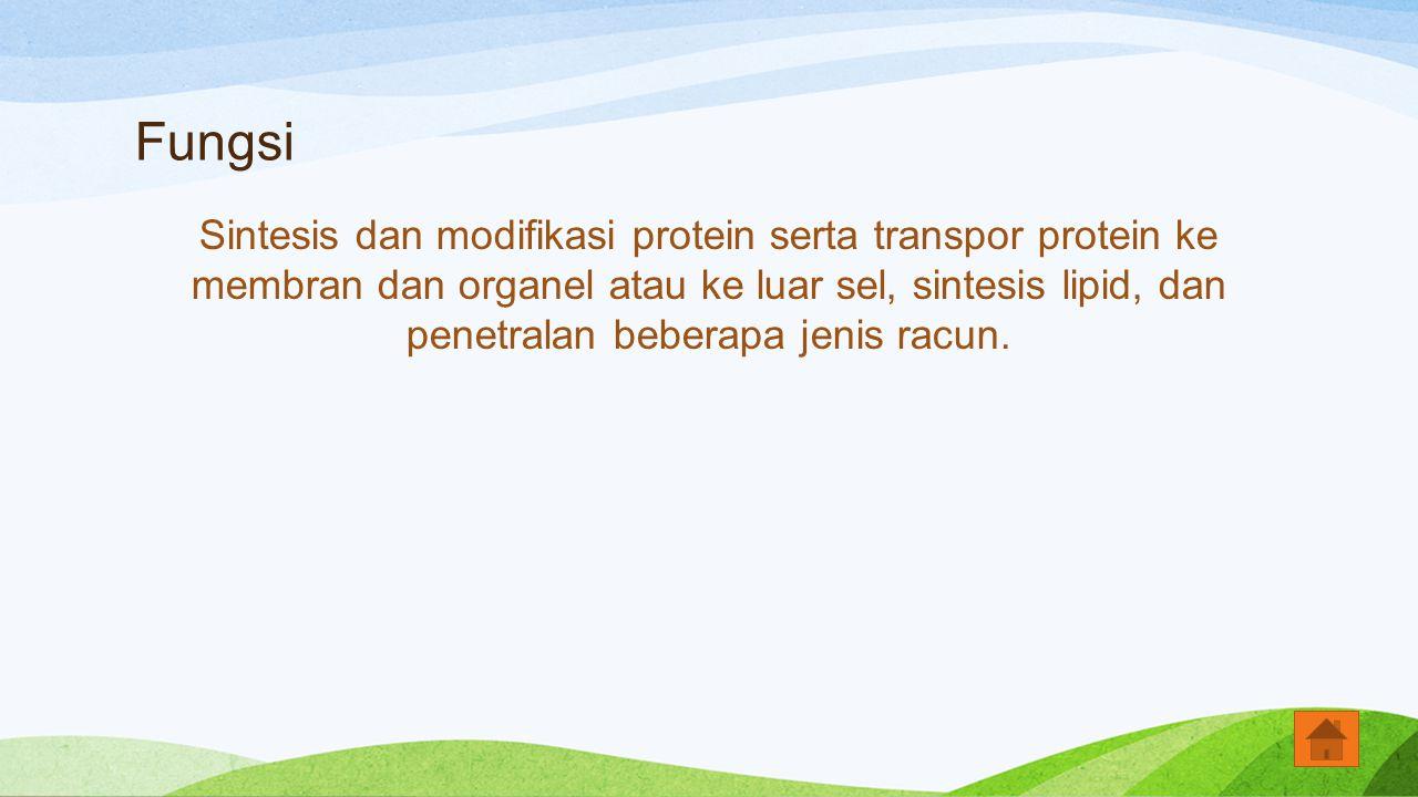 Fungsi Sintesis dan modifikasi protein serta transpor protein ke membran dan organel atau ke luar sel, sintesis lipid, dan penetralan beberapa jenis r